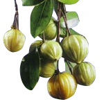 Garcinia Cambogia Extract Research